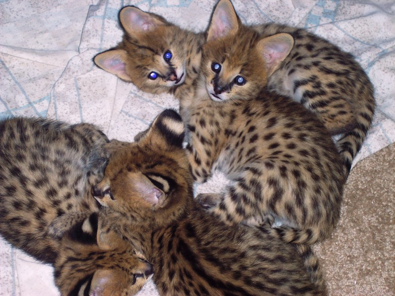 Leopard cat pet for sale