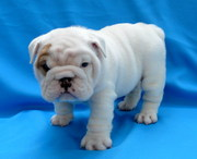 Marry X-mass Quality English Bulldog Puppies For Adoption!!!!!!!